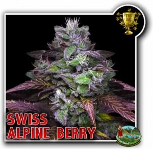 Swiss Alpine Berry from swiss seeds